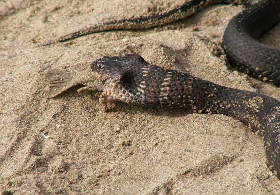 Snake eating a fish for Snake eating fish